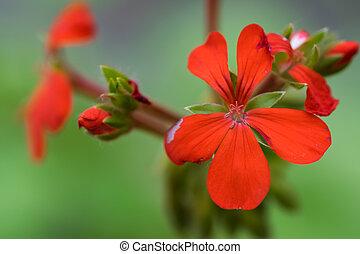 flor, pelargonium, inquinans