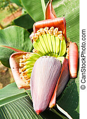 flor, plátano