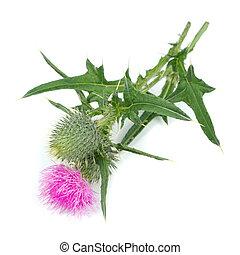 flor, plano de fondo, aislado, (silybum, marianum), blanco, ...