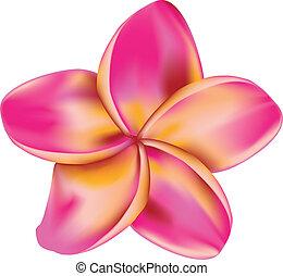 flor, plumeria