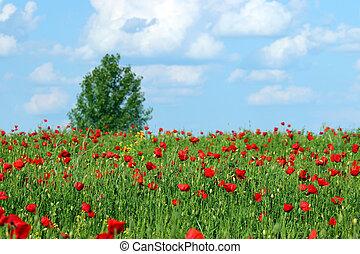 flor, primavera, amapolas, árbol, campo, rojo, estación, paisaje