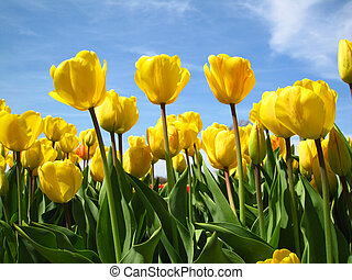 flor, primavera, durante, amarillo, tulipanes