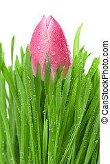 flor, primavera, tulipán, verde, fresco, pasto o césped