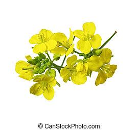 flor, rapeseed