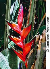 flor roja, heliconia, etiopía, hermoso