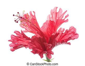 flor roja, hibisco, aislado, blanco
