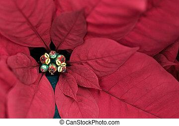 flor, rojo, flor de nochebuena, navidad, cicatrizarse, planta