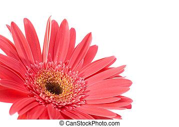 flor, rojo, gerbera