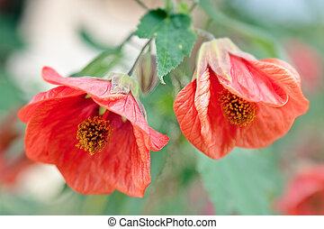 flor, romã, l, punica, sonoma, califórnia, granatum, vale