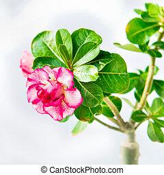 flor rosa, adenium, blanco, aislado
