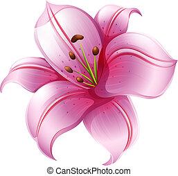 flor rosa, lirio