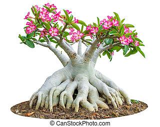 flor, rosa, ping, aislado, árbol, desierto, bignonia, blanco...