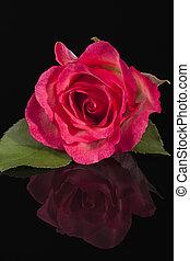 flor rosa, rosa, aislado, solo, fondo negro
