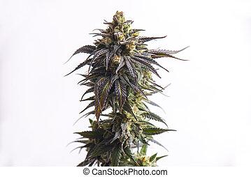 flor, sobre, strain), isolado, detalhe, cannabis, (cbd, branca, sonho