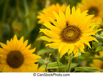 flor sol, abelha