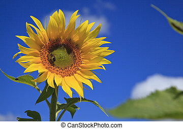 flor sol