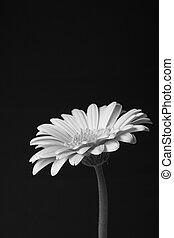 flor, solo, gerbera