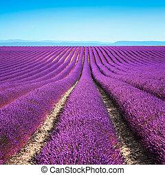 flor sortea, lavanda, francia, meseta, valensole, florecer, provence, europe., perfumado, rows., interminable