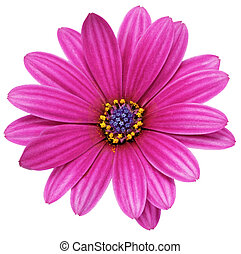 flor, (splendens, gazania., solo, asteraceae).isolated,...