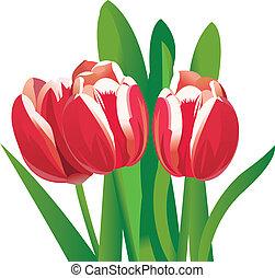 flor, tulipanes