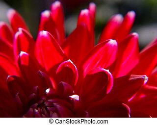 flor, un, dalia