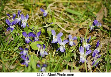 flor, viola