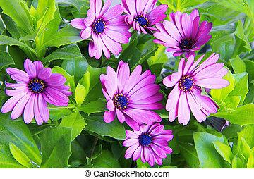 flor, violeta africana, margarita, (dimorphoteca, ...