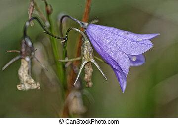 flor, violeta, sino