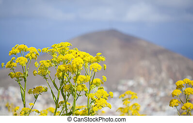 flora, -, gran canaria, ferula, linkii