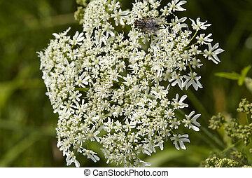 flora, hemlock, blüte, tödlich, -, (coniummaculatum)