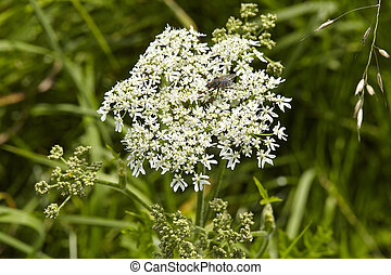 flora, hemlock, flor, mortal, -, (coniummaculatum)