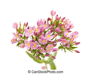 Centaurium erythraea , common centaury - flora of Cantabria...