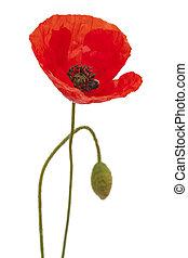 Flora of Gran Canaria - field poppy