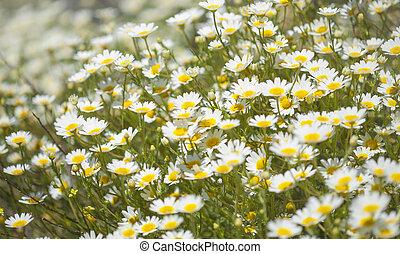 Flora of Gran Canaria - garland chrysanthemum
