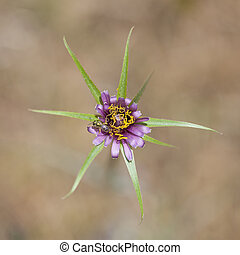flora of Gran Canaria - Tragopogon porrifolius, purple ...