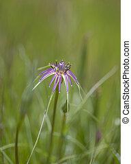 Flora of Gran Canaria - Tragopogon, purple salsify