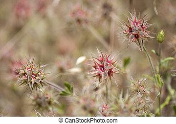 flora of Gran Canaria - Trifolium stellatum, starry cover