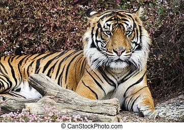 flora y fauna y animales, -, tigre