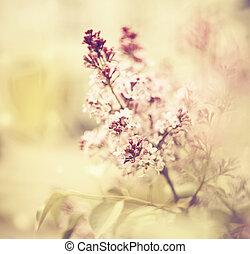 floraison, branches, fond, lilas