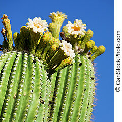 floraison, cactus