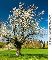 floraison, chery, arbre