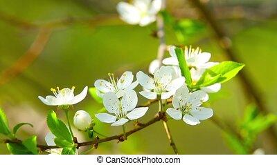 floraison, pomme