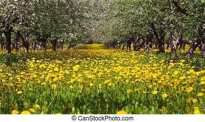 floraison, verger pomme