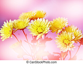 Floral background. Flowers chrysanthemums