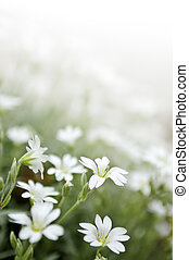 Floral background of cerastium snow-in-summer flowers close ...