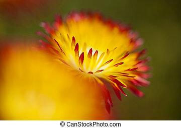 floral background of Drosanthemum bicolor, succulent native...