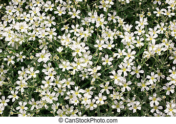 Floral background of small  white meadow garden flowers