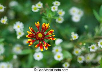 Indian blanket flower lost in camomile field