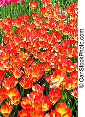 Floral backgroung fiery red tulips - Fiery red tulips making...