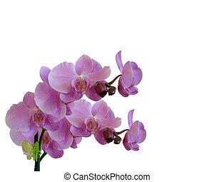 floral, blanc, frontière, isolé, orchidées